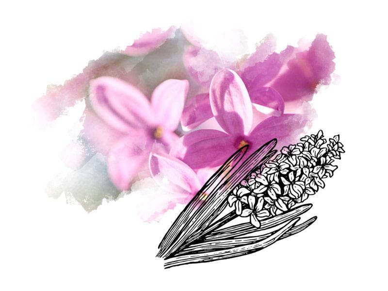 midnightmeadow-lilac